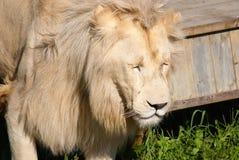 O leão branco Imagem de Stock
