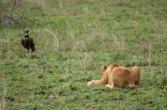 O leão Cub ataca a prática Fotos de Stock Royalty Free