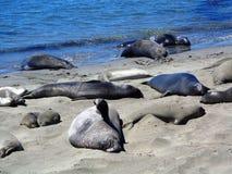 O leão de mar de Big Sur - Califórnia Fotos de Stock Royalty Free