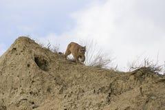 O leão de montanha espreita sobre Fotografia de Stock