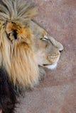O leão do sono imagens de stock royalty free