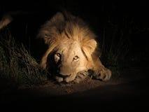 O leão dorme hoje à noite Fotografia de Stock Royalty Free