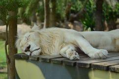 O leão dorme no jardim zoológico Foto de Stock Royalty Free