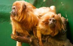O leão dourado dirigiu o Tamarin Fotografia de Stock