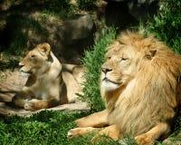 O leão e a leoa imagem de stock