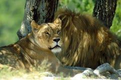 O leão e a leoa descansam na máscara de uma árvore Imagens de Stock