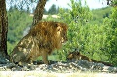 O leão e a leoa descansam na máscara de uma árvore Foto de Stock Royalty Free