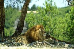 O leão e a leoa descansam na máscara de uma árvore Imagem de Stock Royalty Free