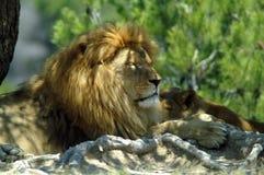 O leão e a leoa descansam na máscara de uma árvore Imagens de Stock Royalty Free
