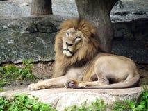 O leão encontra-se para baixo Foto de Stock