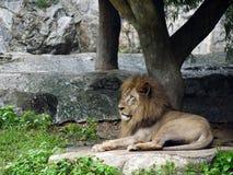 O leão encontra-se para baixo para a fiscalização Fotos de Stock