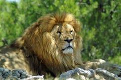 O leão encontra-se sob uma árvore Foto de Stock