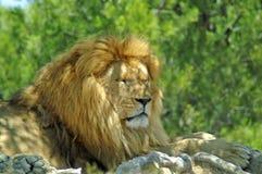 O leão encontra-se sob uma árvore Imagens de Stock