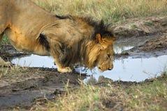 O leão está bebendo uma água de uma poça Fotos de Stock