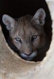 O leão está dentro. imagens de stock royalty free