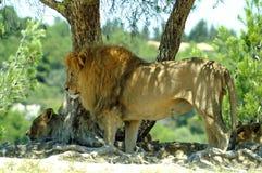O leão está na máscara de uma árvore Foto de Stock
