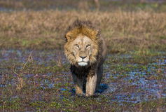 O leão está nadando através do pântano Delta de Okavango Fotos de Stock Royalty Free