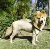 O leão gosta do cão Imagens de Stock Royalty Free