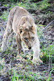 O leão novo (filhote de leão) rouba a carne Foto de Stock Royalty Free