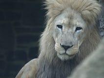 O leão olha fixamente com olhos escuros Imagens de Stock Royalty Free