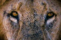 O leão olha-o imagem de stock royalty free