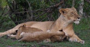 O leão, o panthera leo, mãe e Cub africanos que joga, o outro filhote estão mamando, Masai Mara Park em Kenya, video estoque