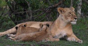 O leão, o panthera leo, mãe e Cub africanos que joga, o outro filhote estão mamando, Masai Mara Park em Kenya, filme