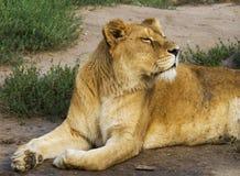 O leão que encontra-se na grama, cabeça de giro até o sol, eyes quase fotos de stock royalty free