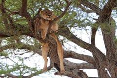 O leão relaxa na árvore Fotografia de Stock