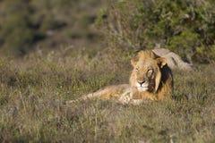 O leão relaxa na pastagem fotografia de stock royalty free