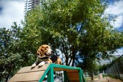 O lebreiro do cão coloca respeitosamente fotos de stock royalty free