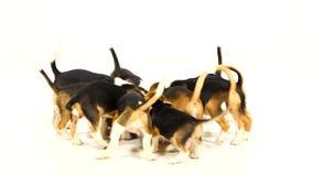 O lebreiro do cachorrinho come o alimento seco e toma-o de cada um vídeos de arquivo