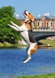 O lebreiro salta acima no rio Imagens de Stock Royalty Free