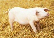 O leitão novo no feno e a palha na criação de animais do porco cultivam Fotografia de Stock Royalty Free