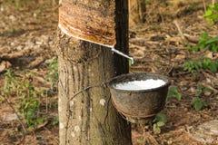 O leite da árvore da borracha flui em uma bacia de madeira Fotos de Stock