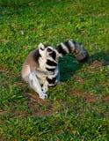 O Lemur abraça sua cauda Fotos de Stock