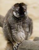 O lemur feio Fotografia de Stock Royalty Free