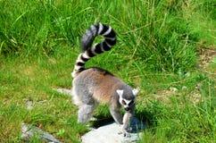 O Lemur Ring-tailed foto de stock royalty free