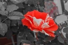 O lenço Panky é uma rosa fantástica, uma variedade americana, altamente atrativas e o presente perfeito para algo um pouco difere foto de stock royalty free