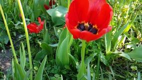 O lento-movimento bonito do narciso das tulipas cresce a flor exterior sazonal do jardim da primavera do campo video estoque