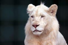 O leão branco olha triste na direção de Fotografia de Stock Royalty Free