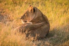 O leão encontra-se na grama que olha fixamente para o por do sol Fotos de Stock Royalty Free