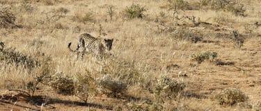 O leopardo africano aproxima-se através da grama seca na luz solar brilhante do amanhecer na reserva natural de Okonjima, Namíbia imagens de stock