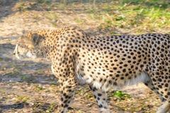 O leopardo anda no sol Fotos de Stock Royalty Free