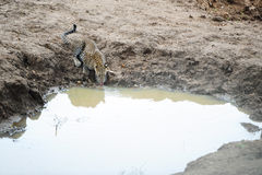 O leopardo bebe a água na selva Fotos de Stock Royalty Free