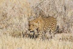 O leopardo caça uma gazela Fotografia de Stock