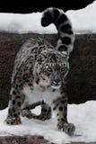 O leopardo de neve é um grande e o gato forte com um olhar claro, sentando-se e preparando-se para saltar, close-up é inverno com fotografia de stock royalty free