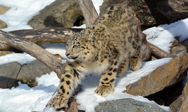 O leopardo de neve Foto de Stock