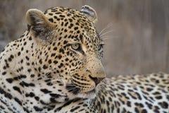 O leopardo do retrato estabelece dentro no crepúsculo para descansar e relaxar foto de stock royalty free