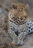 O leopardo do retrato estabelece dentro no crepúsculo para descansar e relaxar imagem de stock royalty free